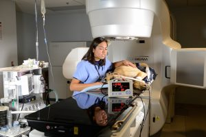 Blanca Camacho, a 2016 graduate, checks on a dog prepared for treatment with the linear accelerator.