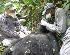 veterinarians-checking-out-gorilla